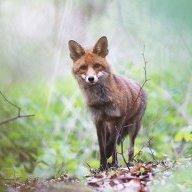 The_Singing_Fox